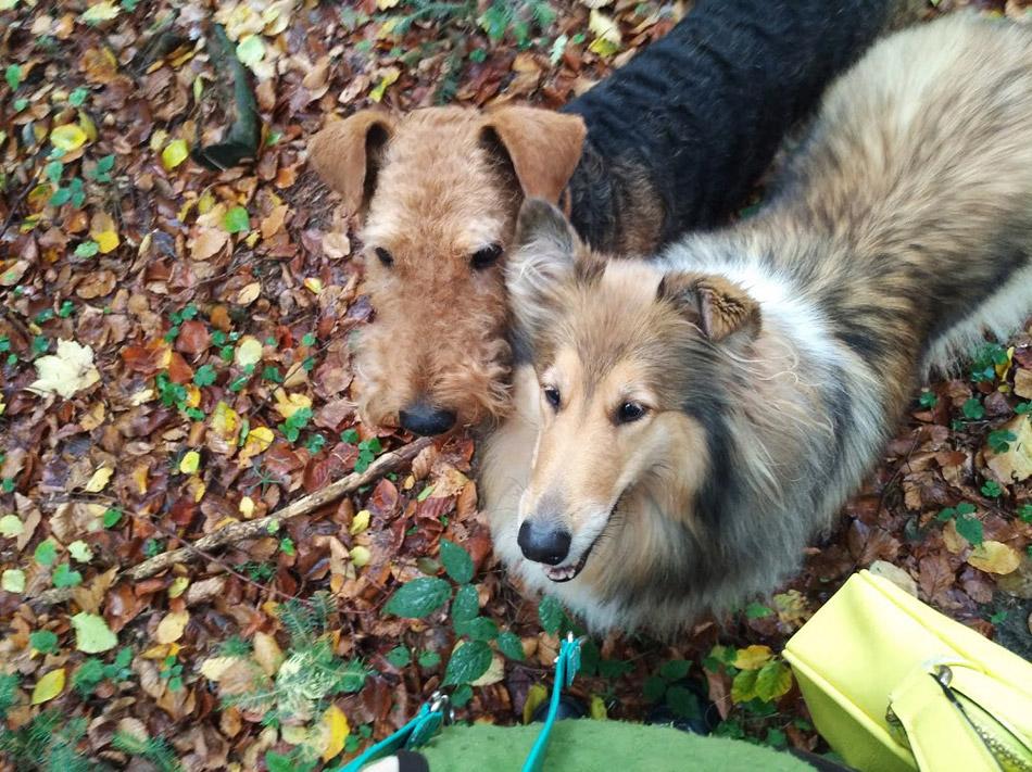 Airedale Terrier Wiener-Stern
