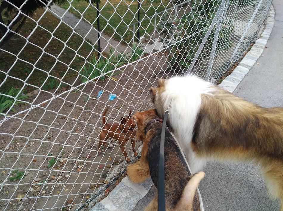 Airedale Terrier Zucht Austria