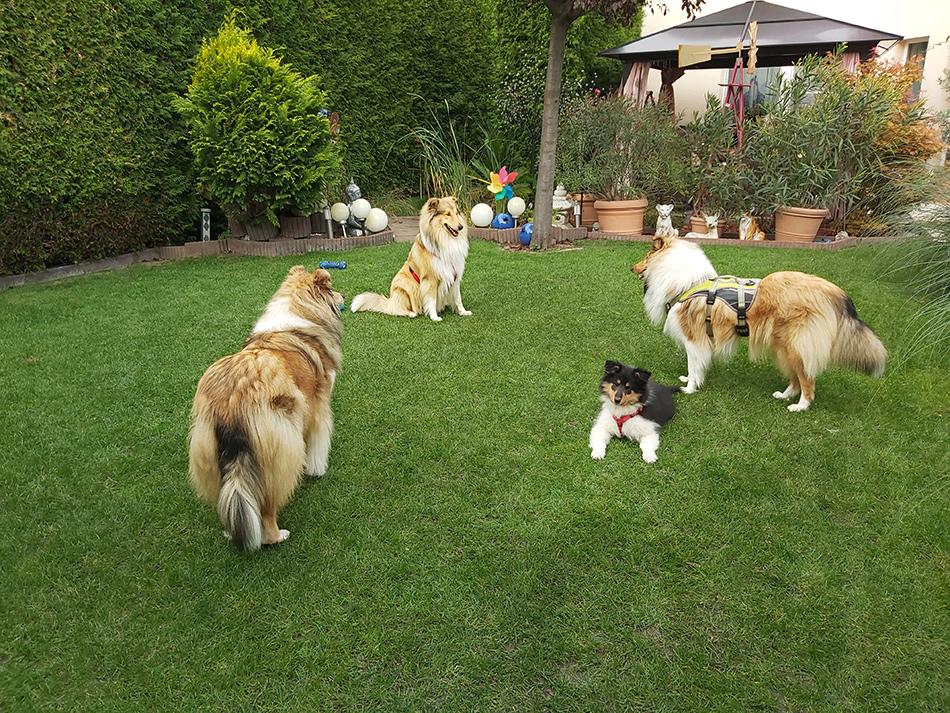 Airedale Terrier, Collie Zucht Wien