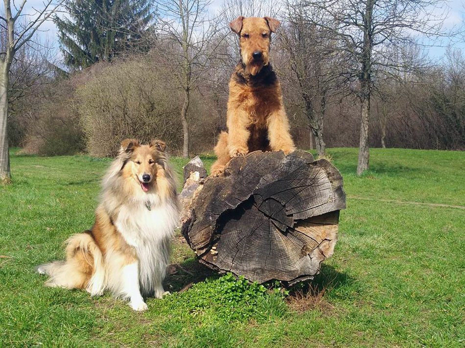 Collie , Airedale Terrier