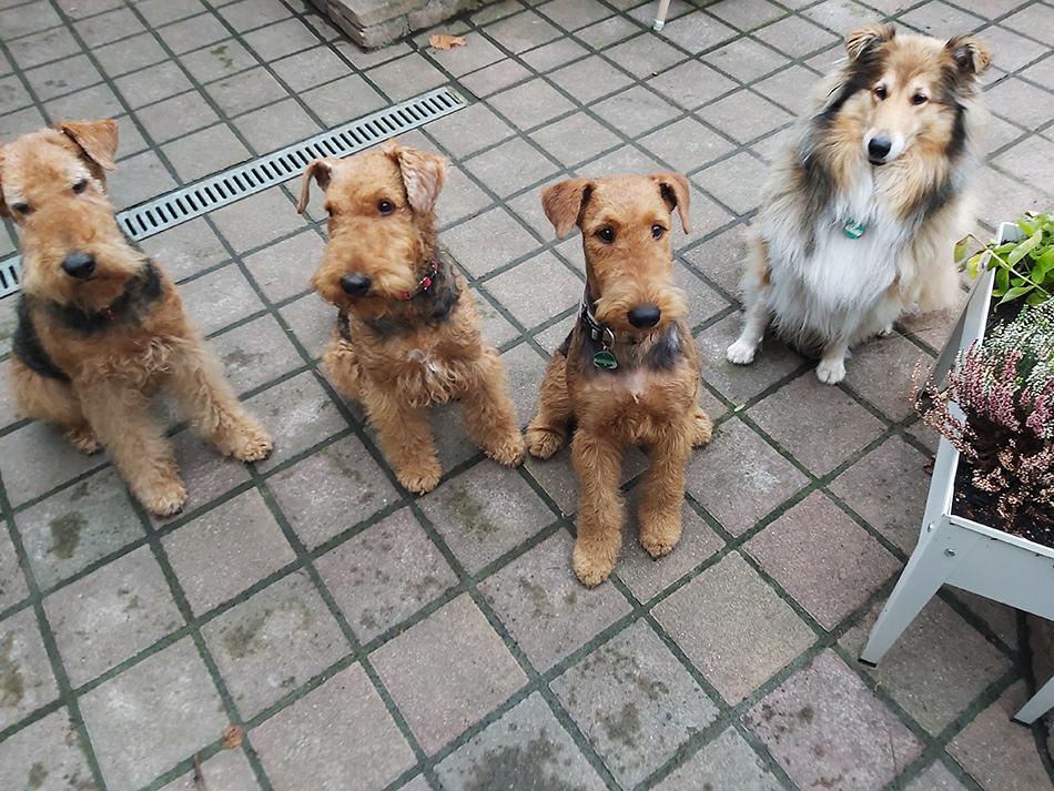 Airedale Terrier Zucht in Wien