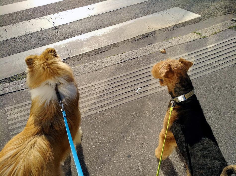 Airedale Terrier Oesterreich