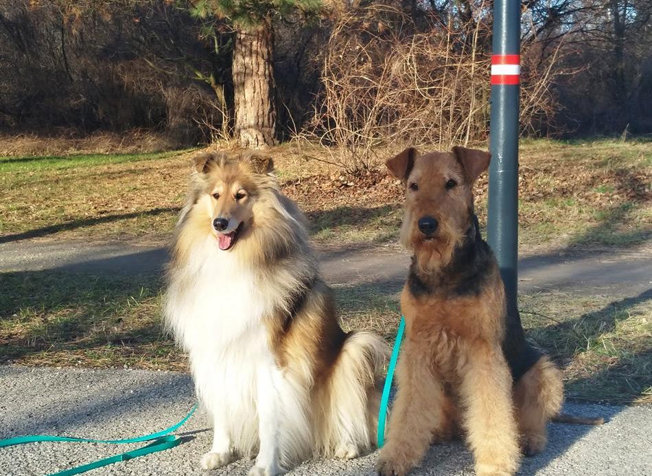 Collie und Airedale in Wien