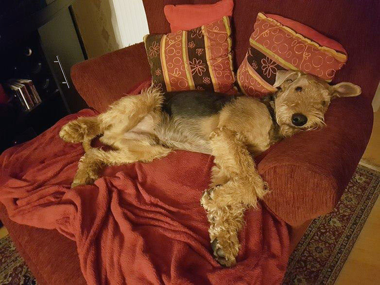 I love Airedale Terrier