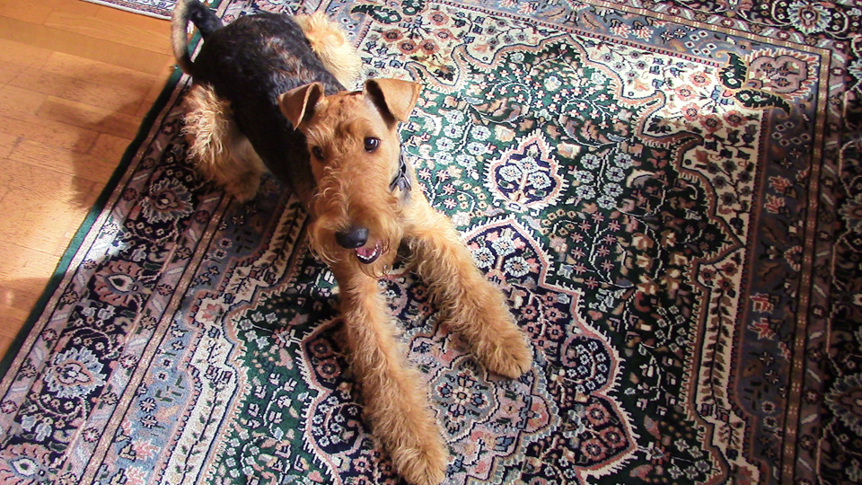 Airedale Terrier Tina