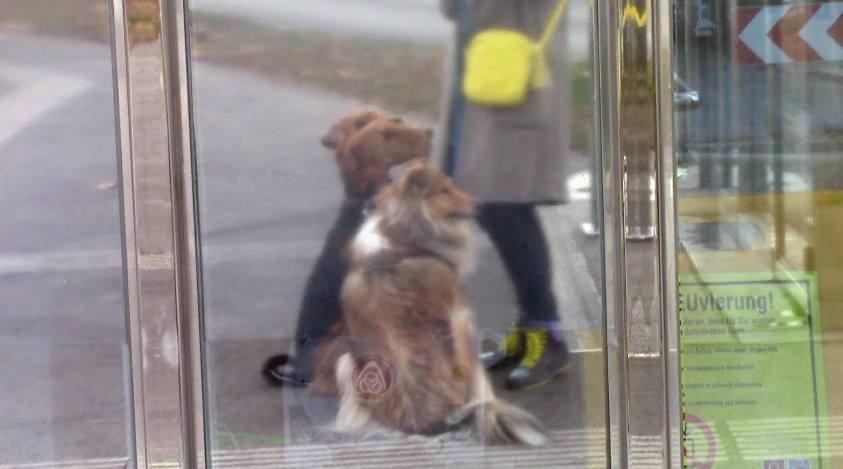 Airedale Terrier im Oktober in Wien