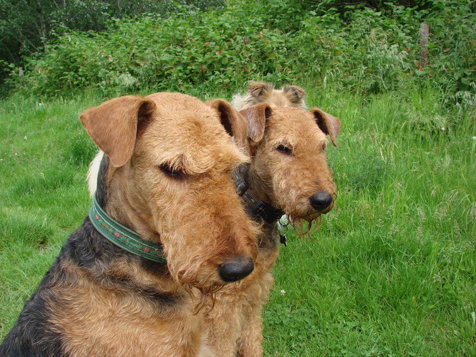 Airedale Terrier Familie