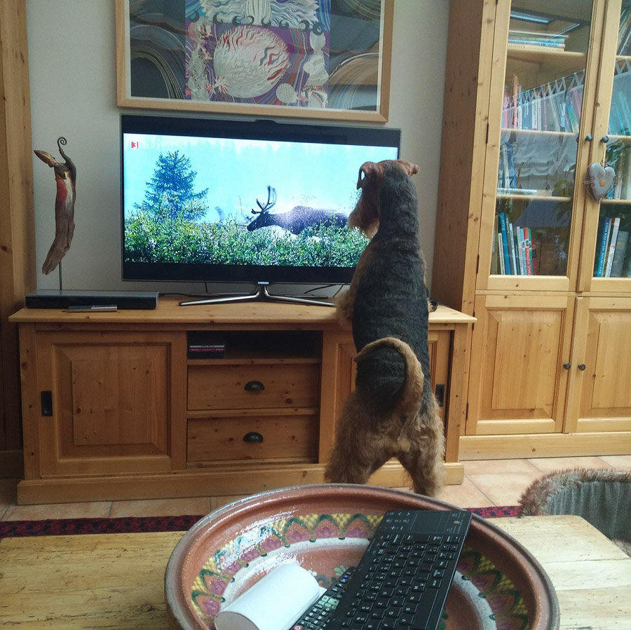 Airedale Terrier vorm TV
