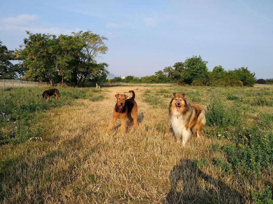 Airedale Terrier Wien Oesterreich