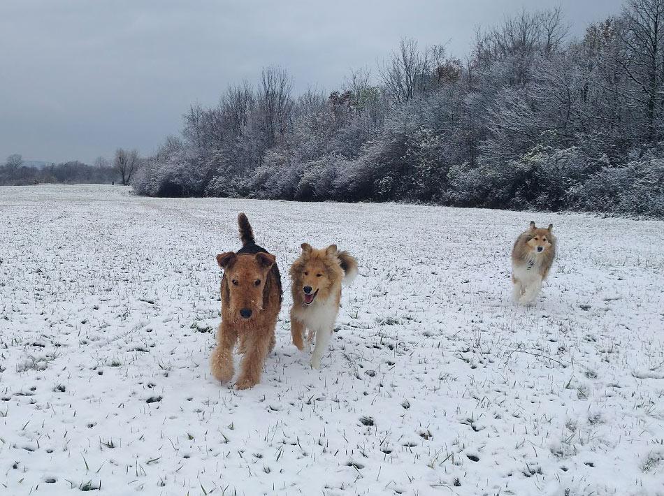 Airedale Terrier, Collie Zucht