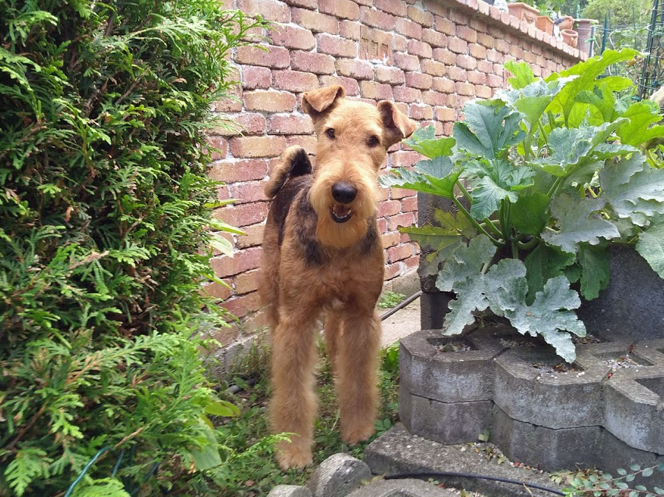 Airedale Terrier & Collie  Wien