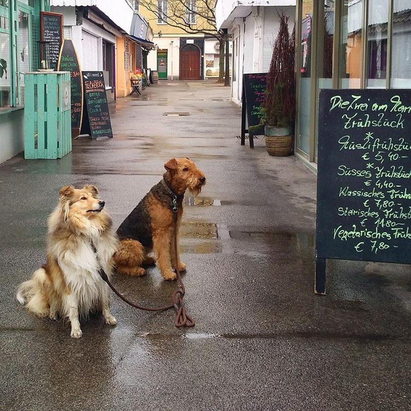 Collie und  Airedale Terrier am Meidlinger Markt in Wien