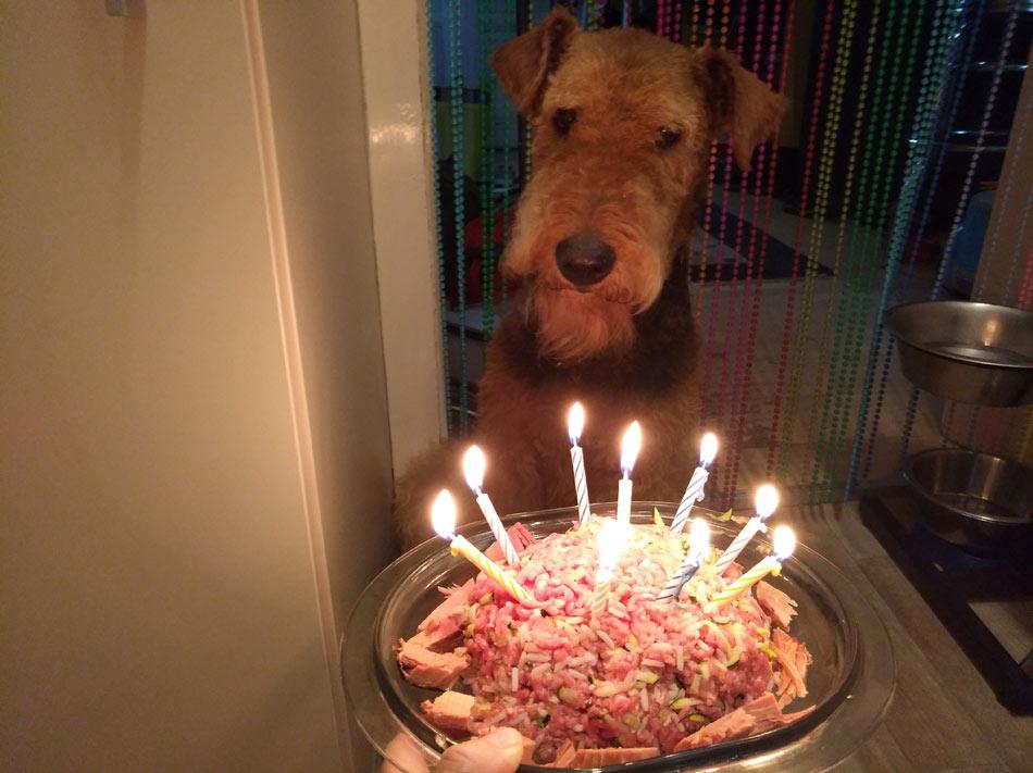 Airedale Terrier Basia hat Geburtstag!