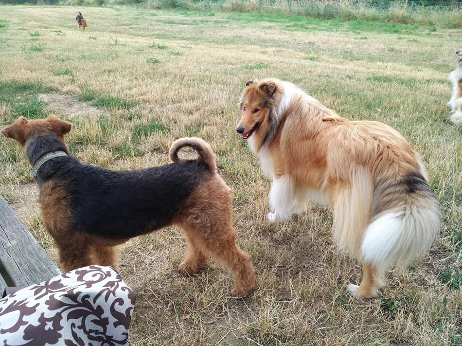 Airedale Terrier Zucht, Collie Zucht, Oesterreich
