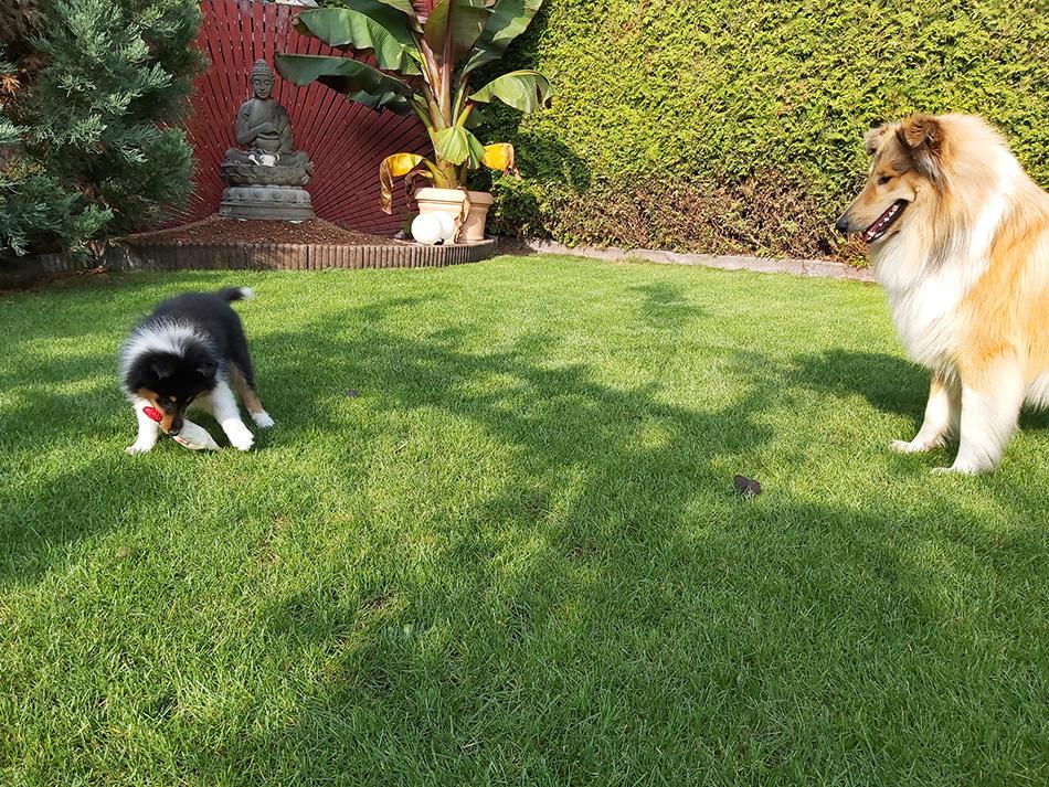 Collie und Airedale Terrier Zucht vom Wiener-Stern
