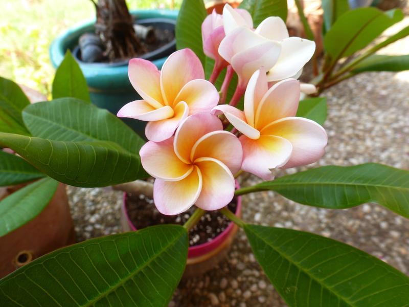 Kübelpflanzen P10400449dqq5