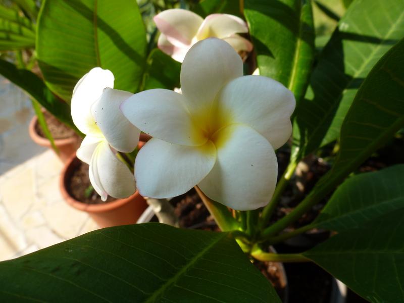 Kübelpflanzen P1040045z2q2z