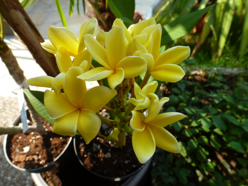 Kübelpflanzen P1040046pcocx