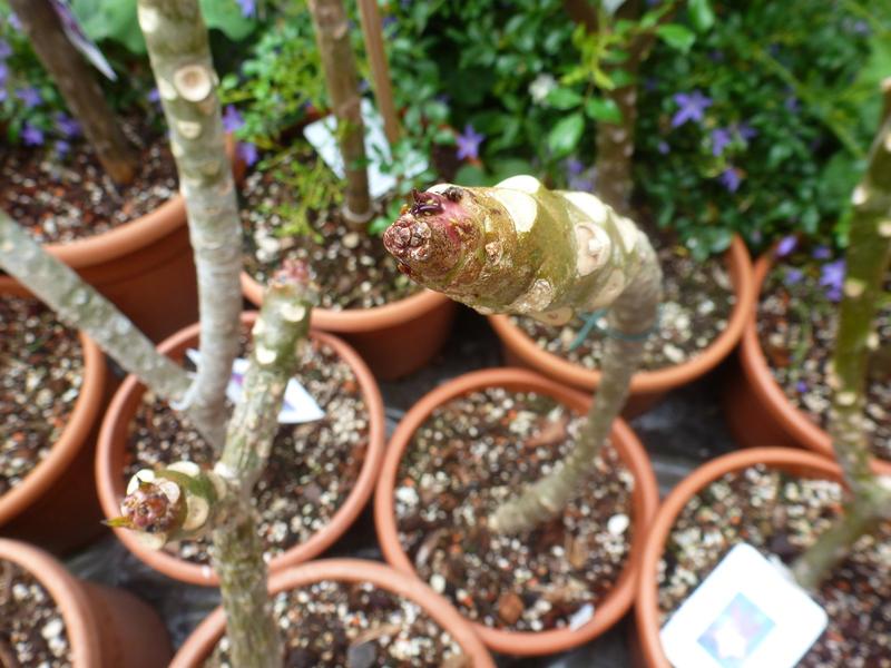Kübelpflanzen - Seite 2 P1060523jgudi