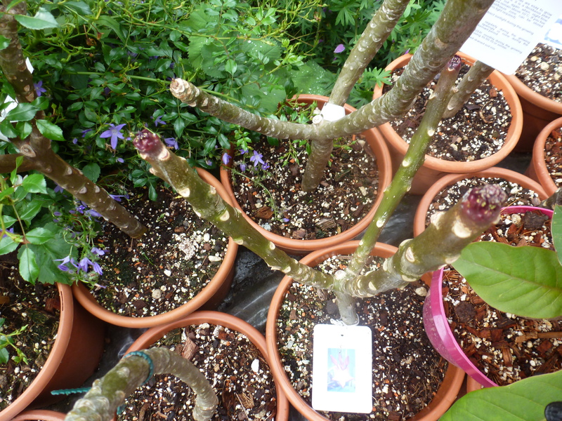 Kübelpflanzen - Seite 2 P10605246xu7z