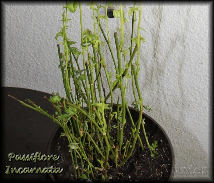 [Bild: passiflora7fsf2.jpg]