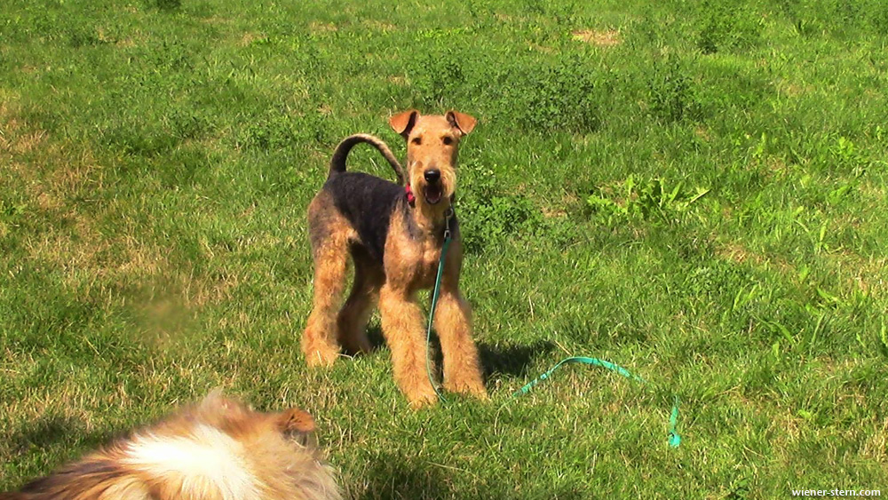 Airedale Terrier Piana