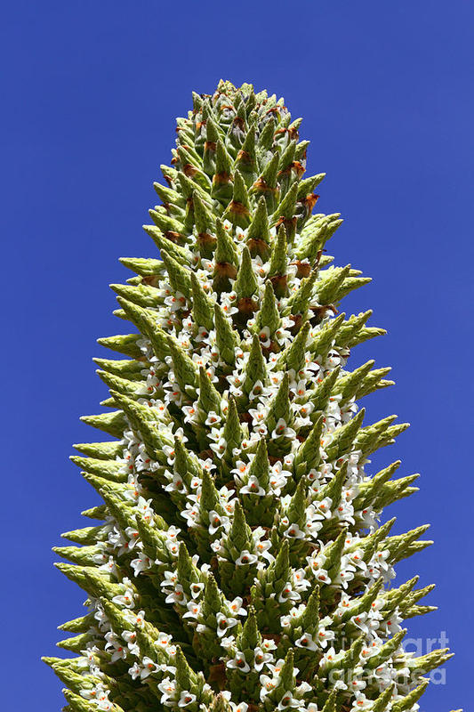 [Resim: puya-raimondii-flower11uih.jpg]