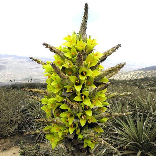 [Resim: puyachilensis17ru1m.jpg]