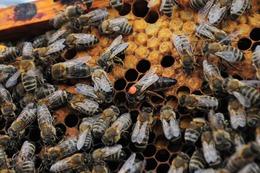 queen-bee-1256034_640chsmr.jpg