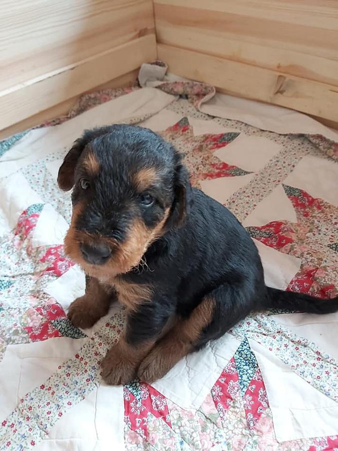 Airedale Terrier, Welpen 2020