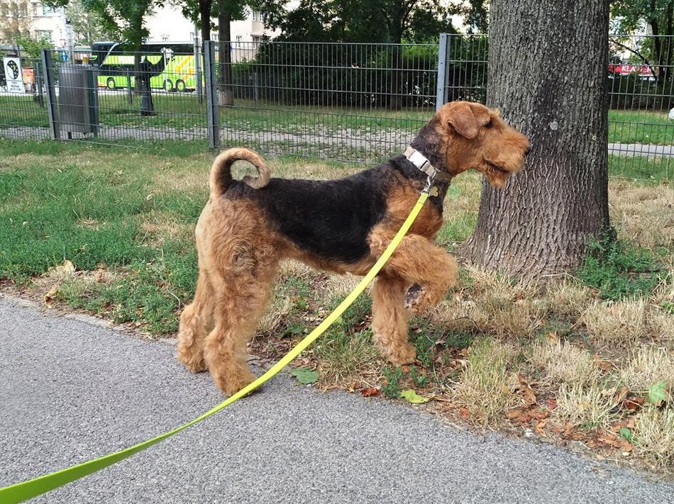 Airedale Terrier, Wien