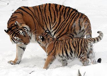 tiger-67577_640.jpg