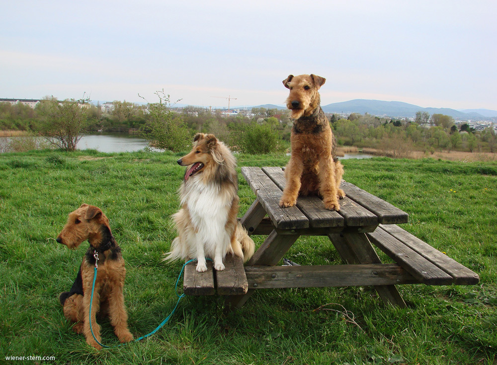 Airedale Team