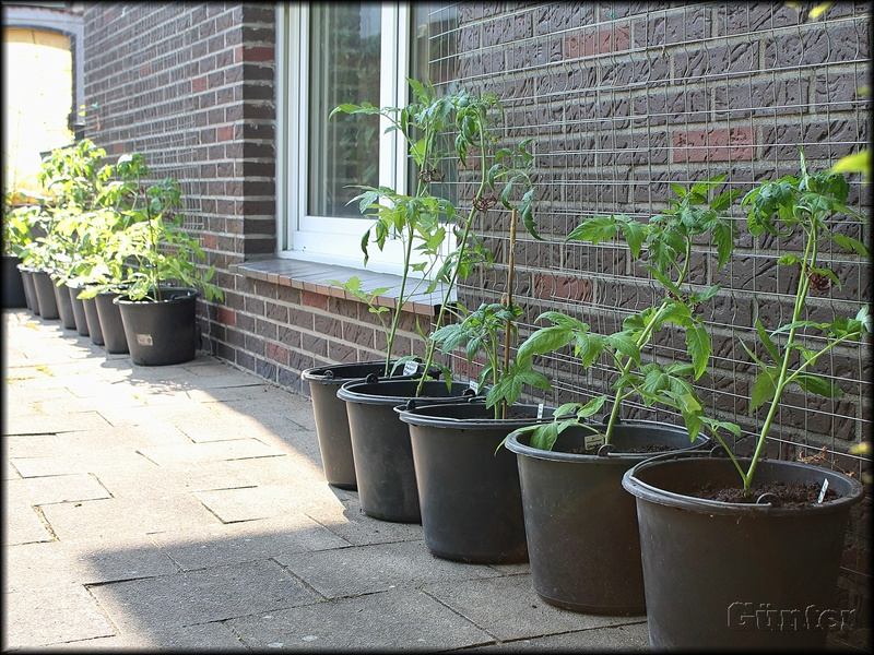 [Bild: tomatenwand_24052019scjg2.jpg]
