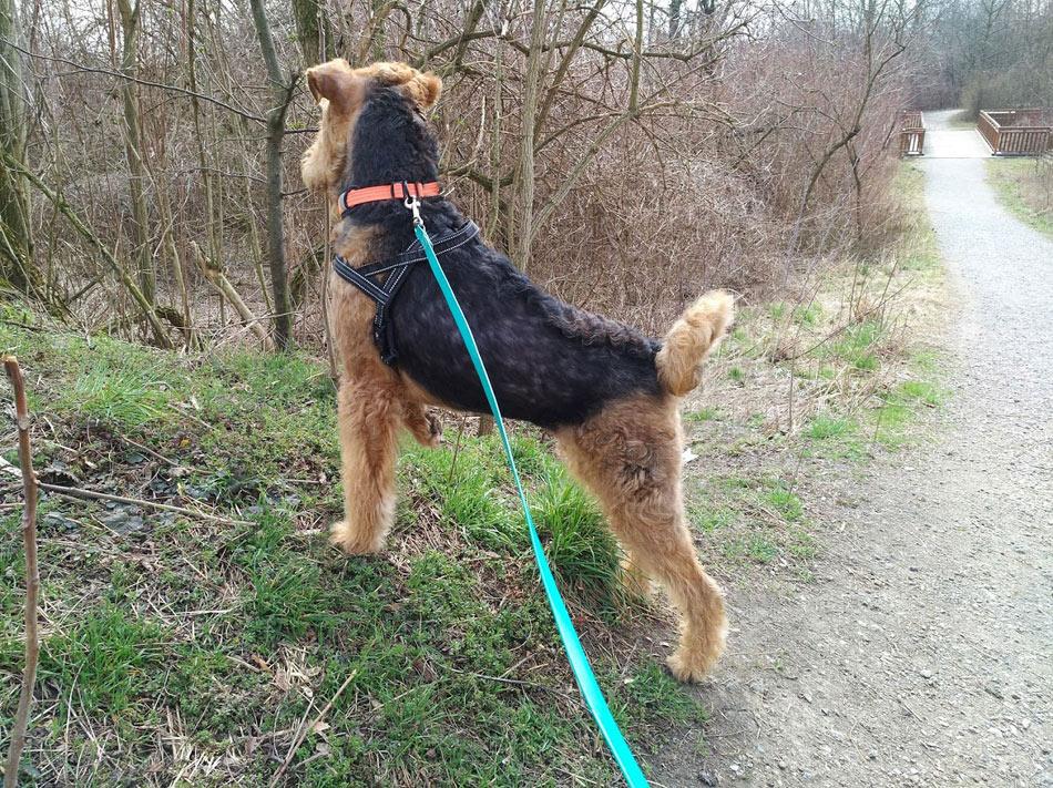 Airedale Terrier Trimmen