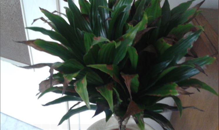 trockene bl tter und spitzen pflanzenkrankheiten sch dlinge green24 hilfe pflege bilder. Black Bedroom Furniture Sets. Home Design Ideas