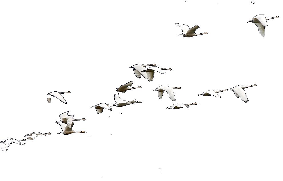 Гиф летящие лебеди на прозрачном фоне