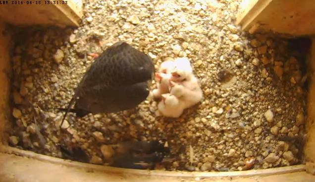 turmfalken regensburg webcam