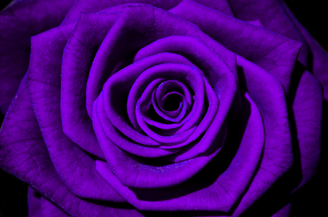 [Resim: violet_rose-v16092016piszm.jpg]