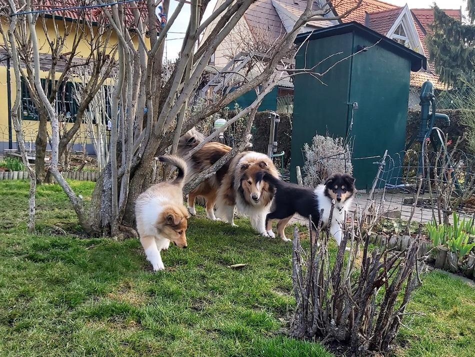 Collie, Welpen, Wiener-Stern