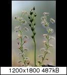 droserastolonifera02f0j5u.jpg